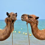 Two Camels Talking