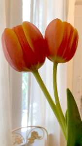 Two tulips on one stem