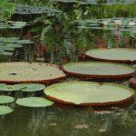 Lotus pads on pond